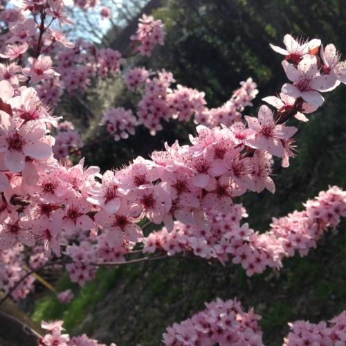 Fleurs de cerisiers © N.I.C.