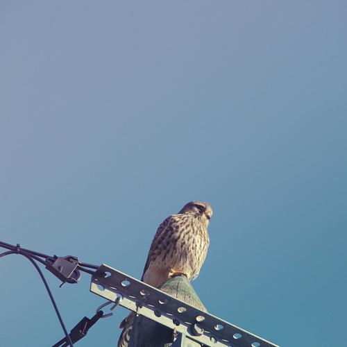 Faucon crécerelle © N.I.C.